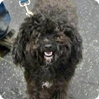 Adopt A Pet :: Toto - Menands, NY