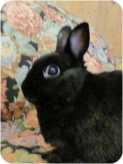 Netherland Dwarf Mix for adoption in Williston, Florida - Shadow