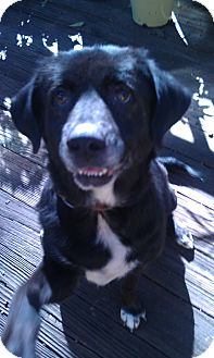 Labrador Retriever/Border Collie Mix Dog for adoption in Tallahassee, Florida - Maddie