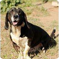 Labrador Retriever/Basset Hound Mix Dog for adoption in Acton, California - Otto