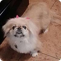 Adopt A Pet :: Fluffy (in Milton, VT) - Vansant, VA
