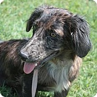 Adopt A Pet :: Merle - Stilwell, OK