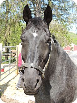 Warmblood Mix for adoption in Washington, Connecticut - Moses