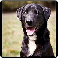 Adopt A Pet :: Si - Indian Trail, NC