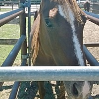 Quarterhorse Mix for adoption in Hitchcock, Texas - Celeste