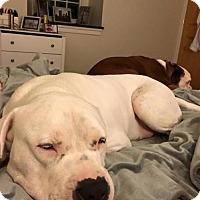 American Staffordshire Terrier/American Bulldog Mix Dog for adoption in Fulton, Missouri - Dirk-DE