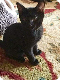 Domestic Shorthair Cat for adoption in Glendale, Arizona - Iggy Pop