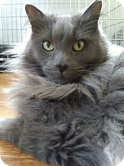 Maine Coon Cat for adoption in Huntington Station, New York - MAVERICK