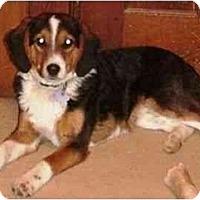 Adopt A Pet :: Molly's Borgles - Tiffin, OH
