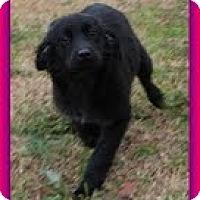 Adopt A Pet :: Shana - Staunton, VA