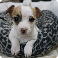 Adopt A Pet :: Jill - La Habra Heights, CA