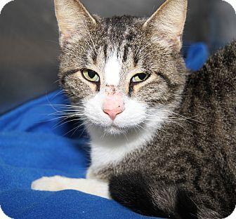 Domestic Shorthair Cat for adoption in Marietta, Ohio - Roscoe (Neutered)