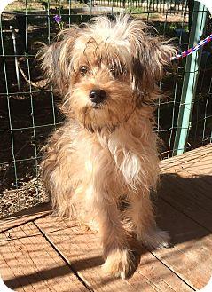 Yorkie, Yorkshire Terrier/Cairn Terrier Mix Dog for adoption in Santa Ana, California - Skye