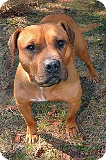 Pit Bull Terrier Mix Dog for adoption in Jackson, New Jersey - Sweet Pea