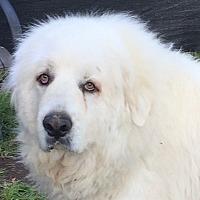 Adopt A Pet :: GOLIATH - Granite Bay, CA