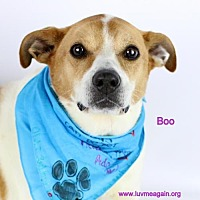 Adopt A Pet :: Boo - Needs Foster - Bloomington, MN