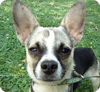 Chihuahua Mix Dog for adoption in Allentown, Pennsylvania - Cammy