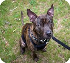 Pit Bull Terrier Mix Dog for adoption in Framingham, Massachusetts - Bartok