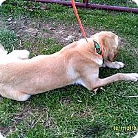 Adopt A Pet :: Sawyer - Yellow Lab mix - Dundas, VA