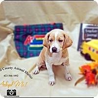 Adopt A Pet :: Beagle pup - Jacksboro, TN