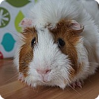Adopt A Pet :: Ollie - Brooklyn Park, MN