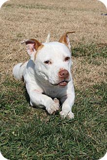 Basset Hound/Staffordshire Bull Terrier Mix Dog for adoption in High Point, North Carolina - Wendell