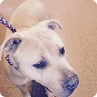 Adopt A Pet :: Lady - South Windsor, CT