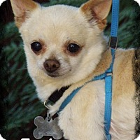Chihuahua/Pomeranian Mix Dog for adoption in Anaheim Hills, California - Earl