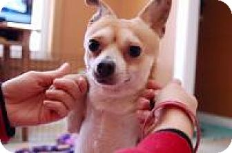 Chihuahua Dog for adoption in South Amboy, New Jersey - Domino