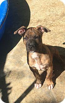 Plott Hound Mix Puppy for adoption in Atlanta, Georgia - Ralphie