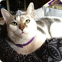 Adopt A Pet :: Chiffon - in New England! - Brattleboro, VT