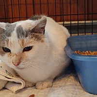 Adopt A Pet :: Callie - Middletown, NY