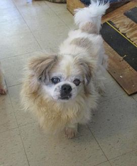 Pekingese Dog for adoption in Oakdale, Tennessee - Connor
