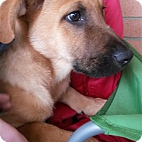 Labrador Retriever/Shepherd (Unknown Type) Mix Puppy for adoption in Fairfax Station, Virginia - Liam
