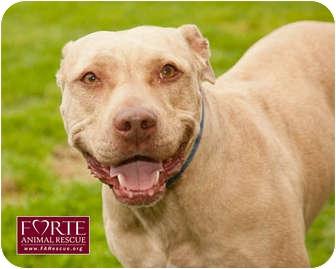 American Staffordshire Terrier Mix Dog for adoption in Marina del Rey, California - Dior