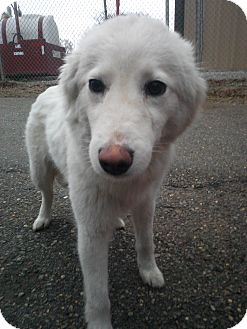 Great Pyrenees Mix Dog for adoption in Alexandria, Virginia - Lily