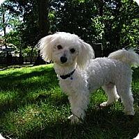 Adopt A Pet :: Andy - South Amboy, NJ