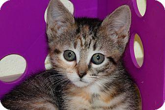 American Shorthair Kitten for adoption in Salem, West Virginia - Tippie