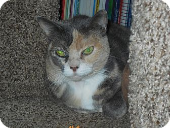Domestic Shorthair Cat for adoption in Whiting, Indiana - Jeni