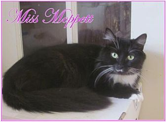 Domestic Longhair Cat for adoption in Culpeper, Virginia - Miss Moppett