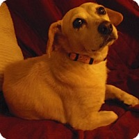 Beagle/Dachshund Mix Dog for adoption in Apple Valley, California - Tulip- in a foster