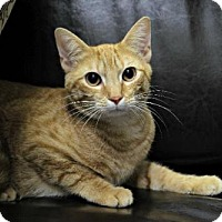 Domestic Mediumhair Cat for adoption in Wichita, Kansas - Clarence