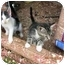 Photo 2 - Domestic Shorthair Kitten for adoption in Union, South Carolina - Gigi