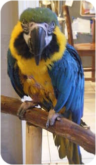 Macaw for adoption in Mantua, Ohio - JAY JAY