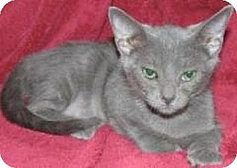 Domestic Shorthair Cat for adoption in Miami, Florida - Kevin