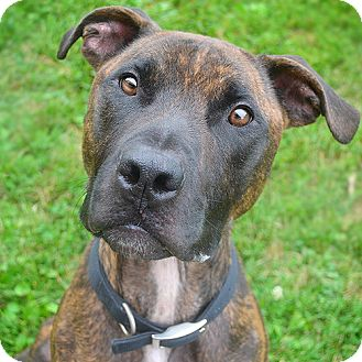 American Pit Bull Terrier Mix Dog for adoption in Springfield, Illinois - Styles