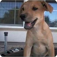 Adopt A Pet :: Bear - Phoenix, AZ