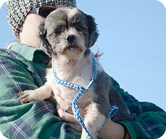 Shih Tzu Mix Dog for adoption in Hopkinsville, Kentucky - Claire