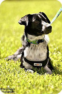 Border Collie/Australian Cattle Dog Mix Dog for adoption in Allen, Texas - Bogart