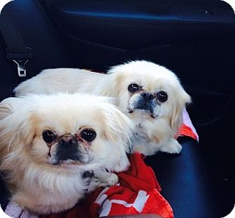 Pekingese Dog for adoption in Richmond, Virginia - Evie